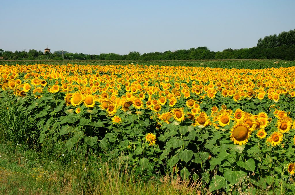 Sunflower field near Szeged
