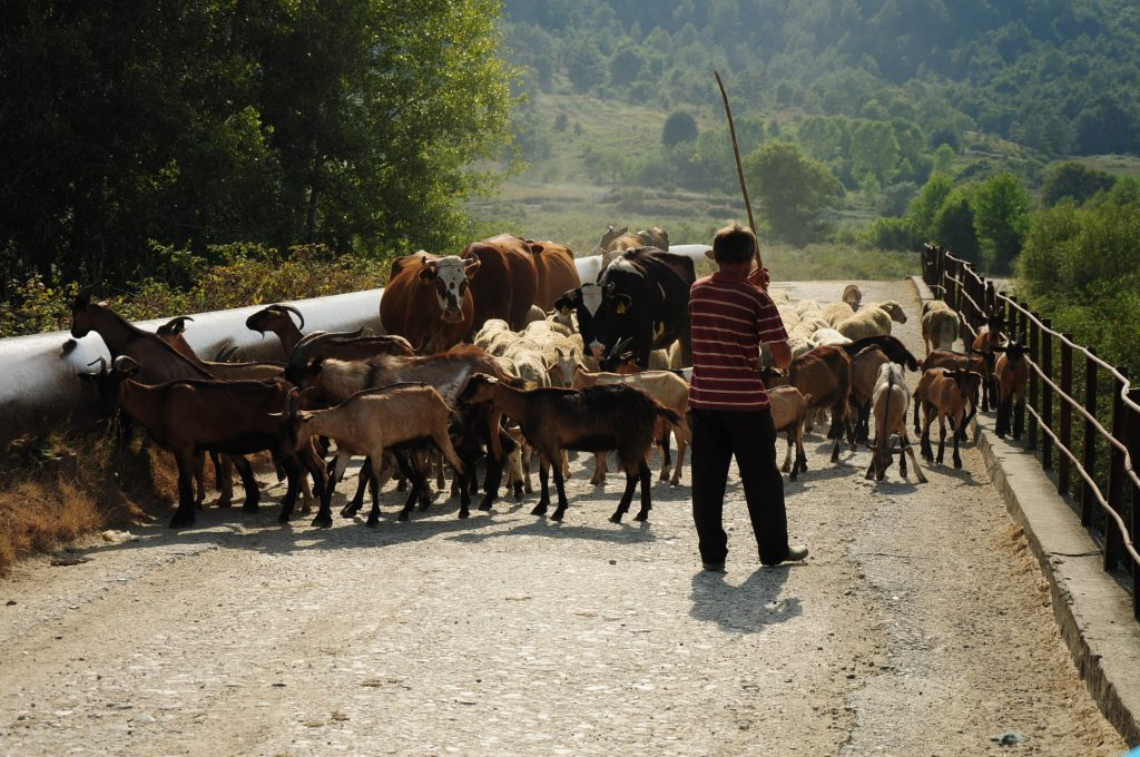 Cows, goats and sheep on an Albanian road