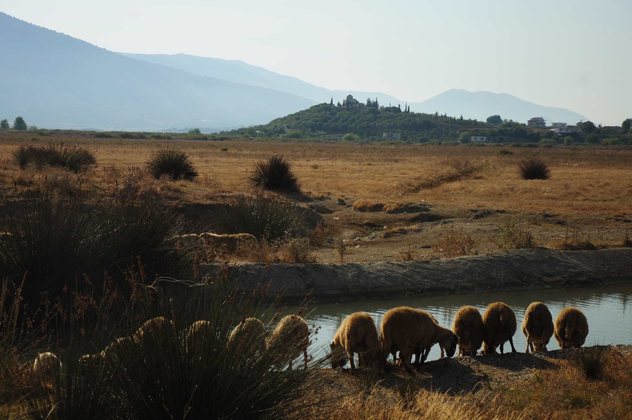 Grazing sheep near Butrint
