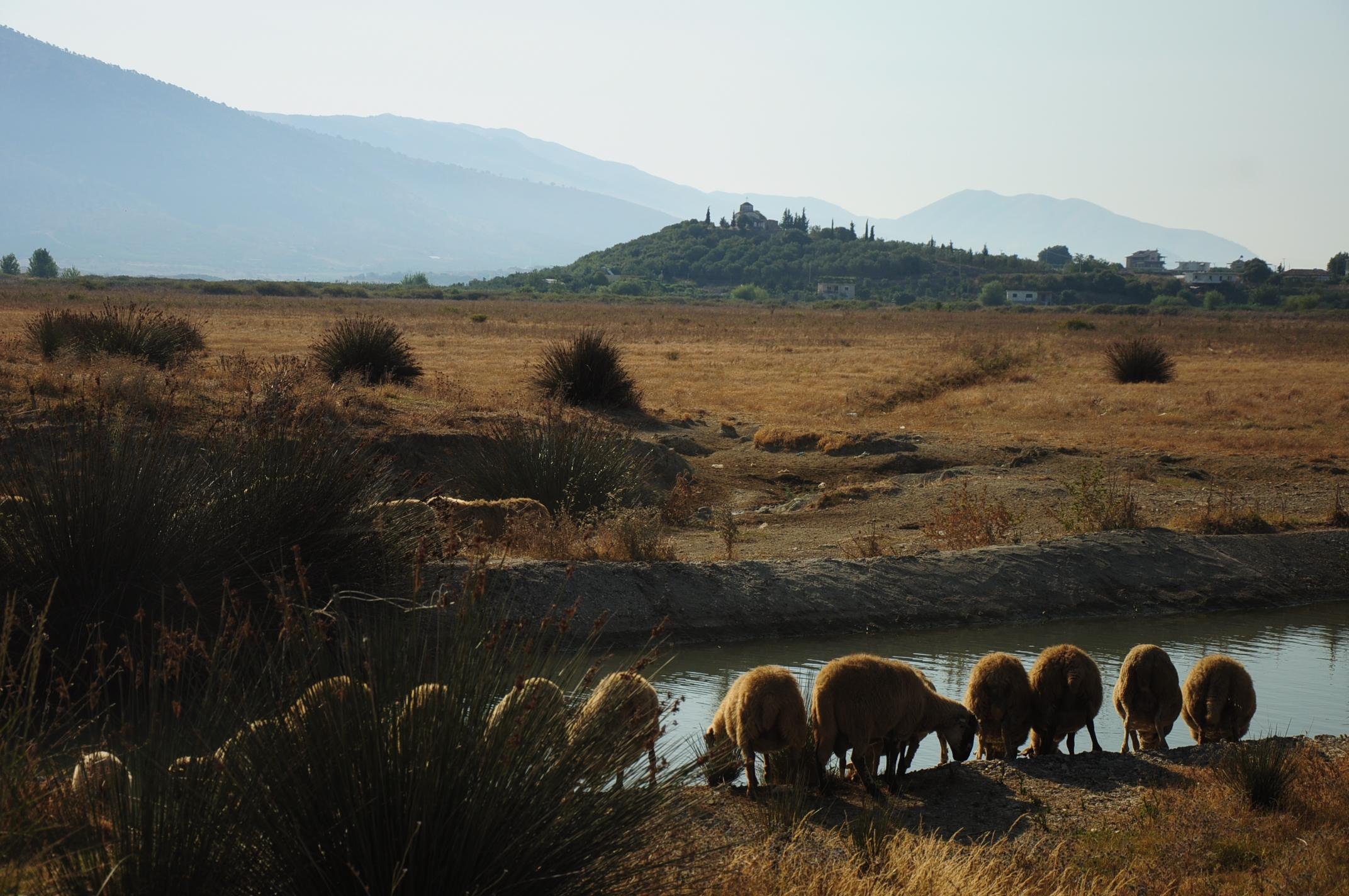 Grazing sheep near Butrint