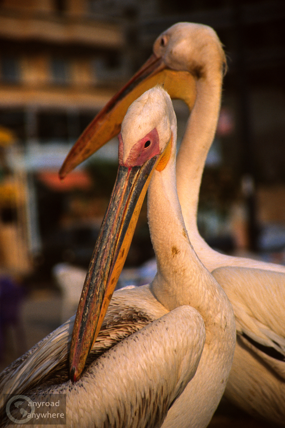 These pelicans were kept to catch fish. We saw them in the port of Tartus